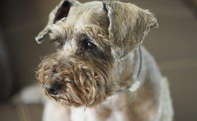 Poodle dog muzzle