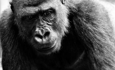 Black Gorilla monkey, animal, monochrome