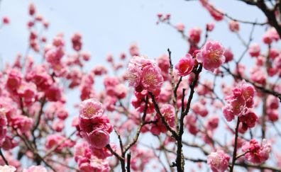 Cherry blossom, pink flowers
