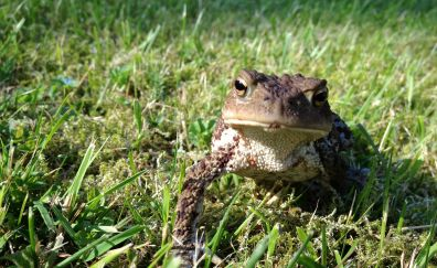 Frog, toad, green grass