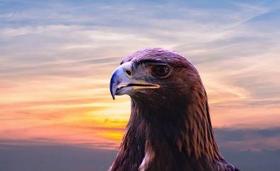 Golden eagle, bird, beak