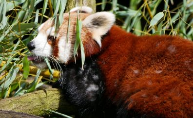 Red panda, furry animal, cute