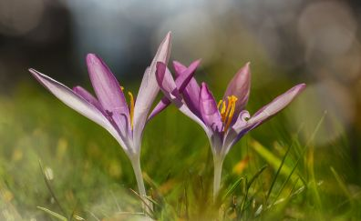 Crocus, wild purple flowers, close up, bokeh