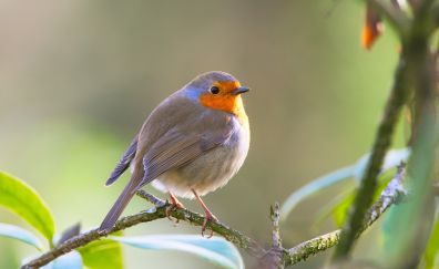 Robin bird, orange grey birds
