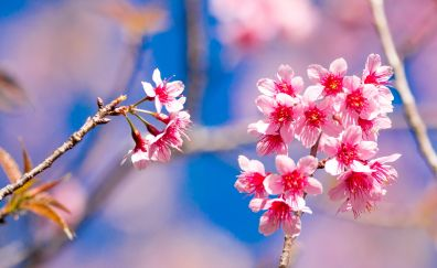 Cherry flowers, blossom, Tiger Hill