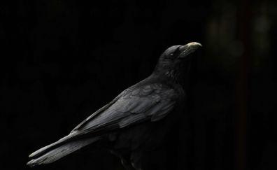 Crow, black birds, monochrome