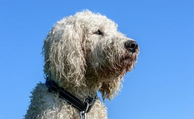 Pet Goldendoodle, dog, furry animal