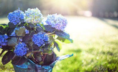 Hydrangea, blue and purple flowers, pot