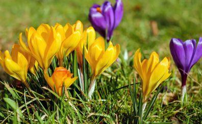 Crocus, flowers, yellow and purple flowers, grass