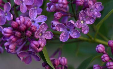 Purple lilac, flowers, drops