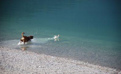 Boxer dog, lake, duck, game