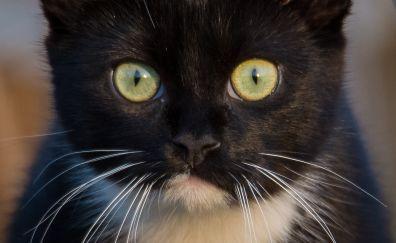 Cat, fur, muzzle, black animal