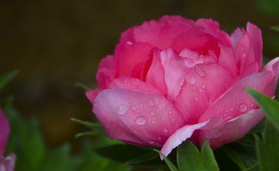 Rose, petals, flowers, rose flower, drops
