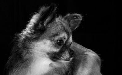 Chihuahua dog, dog, muzzle, monochrome