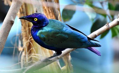 Bronze-tailed starling, bird, blue bird, sitting