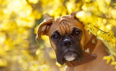 Boxer dog, curious animal, muzzle, yellow leaves