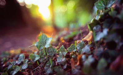 Vine leaves, close up, bokeh