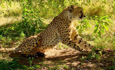 Cheetah, wild animal, predator, animal, sit