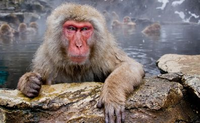 Best Japanese Macaque