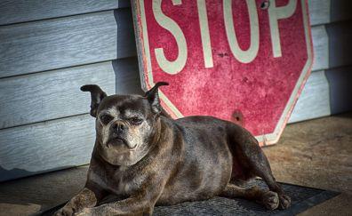 American Staffordshire Terrier Dog, sitting, animal