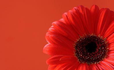 Gerbera red flower, close up, petals