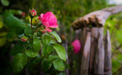 Pink rose flower, plant, blur