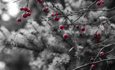 Red berries, tree branch, fruits, spring