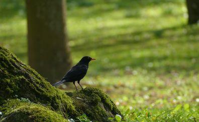 Starling, Black bird, moss, forest
