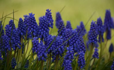 Hyacinth flowers, purple flower