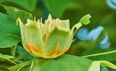 Liriodendron tulipifera, Tulip poplar, green flower