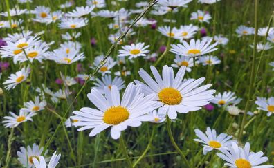 Daisies, meadow