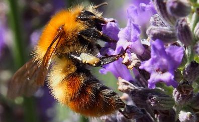 Insects, bee, close up, purple flowers