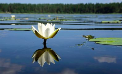 Water lily, flower, reflections