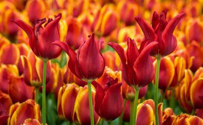 Red tulips, flower farm field, summer