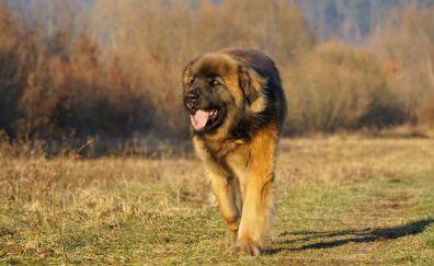 Leonberger dog, run, meadow, landscape