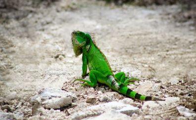 Iguana, green lizard, reptile, animal