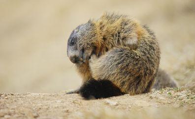 Marmot, rodent, animal, furry animal