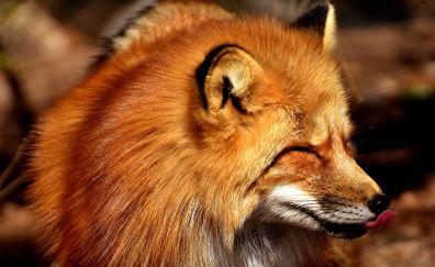 Fox, muzzle, furry wild animal