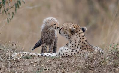 Cheetah, baby animal, predator, play