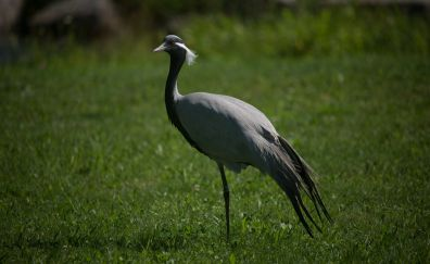 Heron, bird, standing in grass field