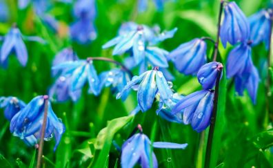 Bluebell flowers, drops, spring