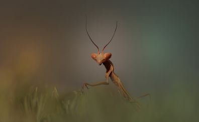 Mantis, insects, grass, close up