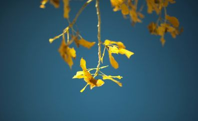 Yellow leaves, tree branch, autumn