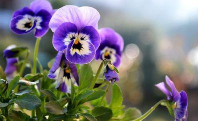 Beautiful Purple Pansy flowers, close up