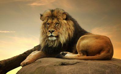 Lion, king of animals, predator, sit