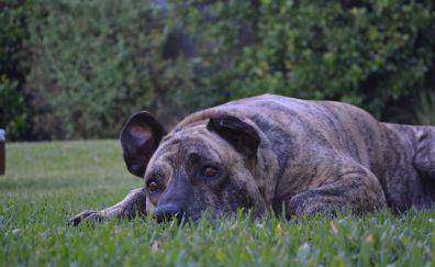 Rest, dog, park, animal, pet