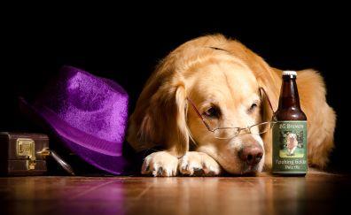Golden retriever dog, hat, bottle, glasses