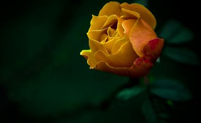 Yellow rose flower close up