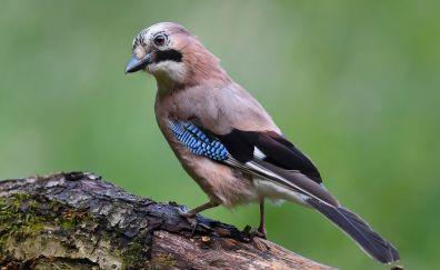 Jay bird, close up