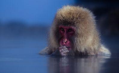 Japanese Macaque, monkey, animal